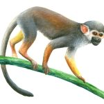 "Spider Monkey, Acrylic on paper, 10x14"" (for CITES St. Lucia poster)"