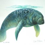 "Caribbean Manatee, Acrylic on paper, 12x16"" (for WWF Guianas poster)"
